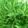 Coontie – Zamia pumila floridana