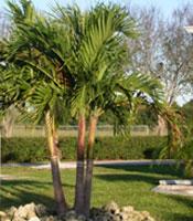 Adonida Palm