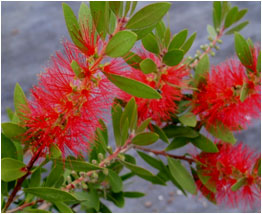 bottlebrush_erect