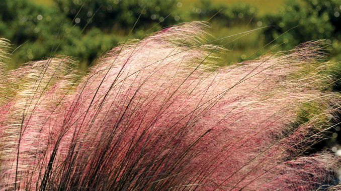 Pink Muhly Grass near St. Augustine, Florida marsh land. ** Note: Shallow depth of field