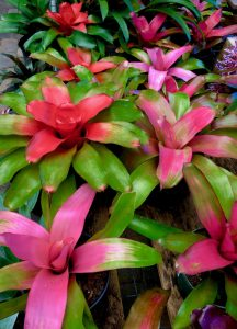 Bromeliad June