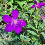 Tibouchina Purple