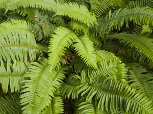 Sword Fern (Polystichum munitum), Point Reyes National Seashore, California