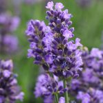 'SuperBlue' Lavandula Color Code:  Darwin 2014, #LAV-183 Bloom/Lavender/Perennial 08.12 West Chicago, Mark Widhalm LAV-183_01_02.JPG LAV12-14344.JPG