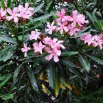 Oleander Petite Pink