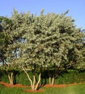 Silver-Buttonwood