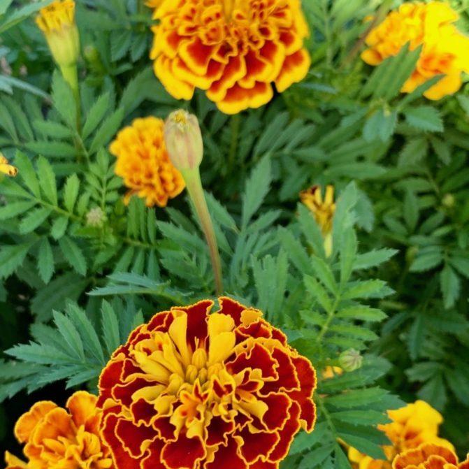 Marigolds 3