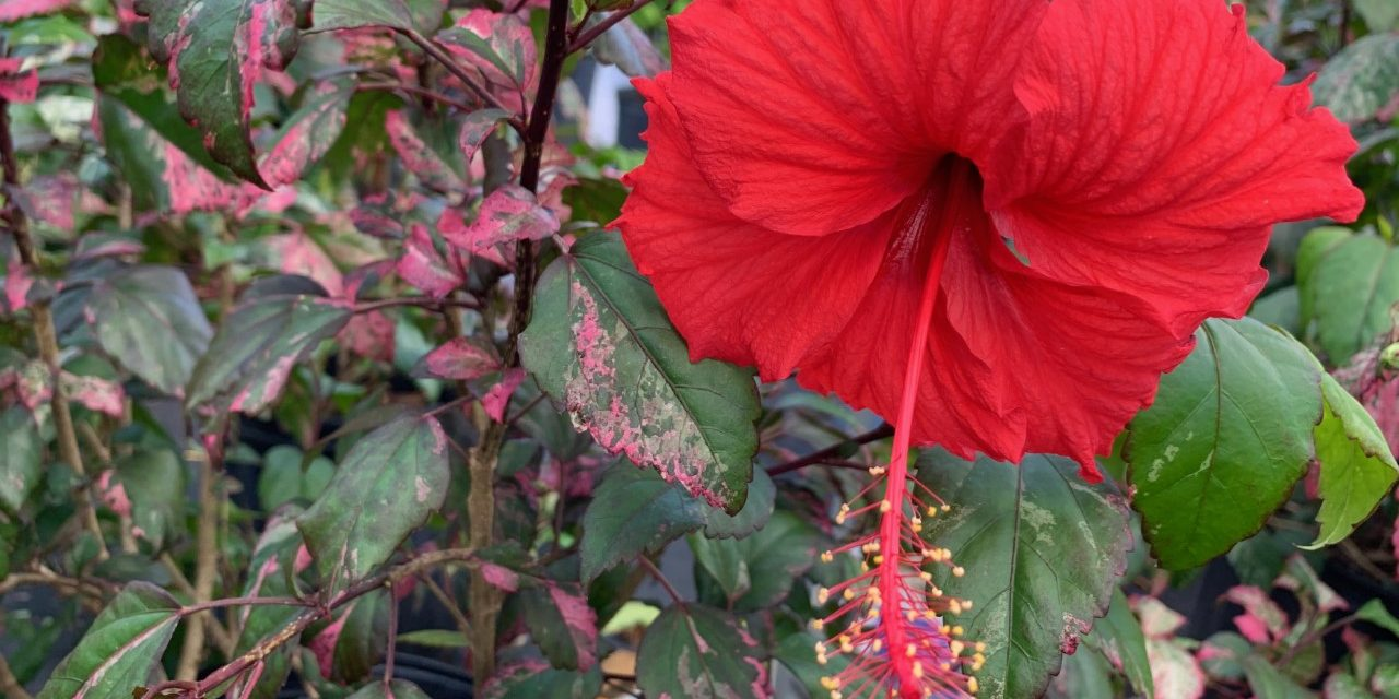 Red Hot Hibiscus 2