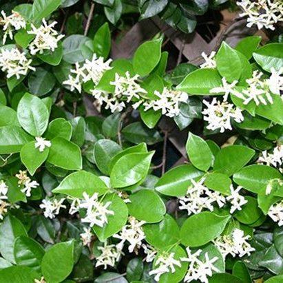 confederate jasmine vine