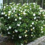 grafted gardenia